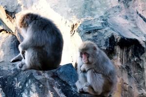 日本 可愛 猴子