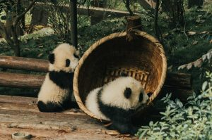 熊貓 成都 廁所 爆炸 事件